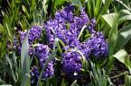 Longwood Gardens Apr 15 2016 (3)
